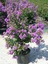 Lagerstroemia fioletowa Benoit P9 Wysokość sadzonki 10-20 cm