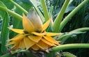 Bananowiec Musella lasiocarpa Kwiat Lotosu P12 Rodzaj rośliny Inny