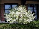 Śniegowiec wirginijski 20-40cm C2 Roślina w postaci sadzonka w pojemniku 2-3l