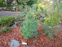 Sosna Schwerina Wiethorst 40-60cm C5 Roślina w postaci sadzonka w pojemniku 3-5l