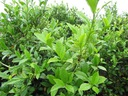 Herbata chińska camellia sinensis 20-40cm P10