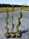 Thuja SZMARAGD zielony SPIRALA tuja 130-150cm C5 Cechy charakterystyczne przyjazne dla zwierząt proste w pielęgnacji oczyszczające powietrze