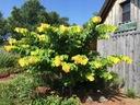 Judaszowiec kanadyjski The Rising Sun 60-80cm C5 Roślina w postaci sadzonka w pojemniku 3-5l