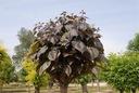 SURMIA PURPUREA Catalpa Katalpa PA 150-170cm C5 Roślina w postaci sadzonka w pojemniku 3-5l