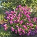 Lagerstroemia fioletowa Benoit P9 Rodzaj rośliny Inny