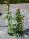 Lagerstroemia różowa Seaburn 70-90cm C2 Cechy charakterystyczne oczyszczające powietrze proste w pielęgnacji przyjazne dla zwierząt
