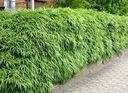 Bambus Fargesia Rdzawa mrozoodporny 40-60cm C3 Wysokość sadzonki 40-60 cm