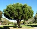 Sosna pinia pinus pinea 90-110cm C2 Wysokość sadzonki 90-110 cm