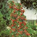 Truskawka wisząca i pnąca na balkony KOMPLET 4 szt Roślina w postaci sadzonka w pojemniku 0,5-1l