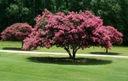 Lagerstroemia różowa Seaburn 70-90cm C2 Roślina w postaci sadzonka w pojemniku 2-3l