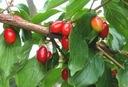DEREŃ JADALNY sadzonki 20-40cm P9 Roślina w postaci sadzonka w pojemniku 0,5-1l