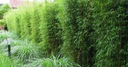 Bambus Fargesia Rdzawa mrozoodporny 40-60cm C3