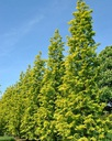 Metasekwoja chińska GoldRush 70-90cm C4 Roślina w postaci sadzonka w pojemniku 3-5l
