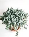 Pilea GREYZY -мелкие серебристо-зеленые листья
