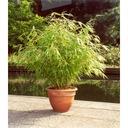 Bambus Fargesia Rdzawa mrozoodporny 40-60cm C3 Cechy charakterystyczne przyjazne dla zwierząt rzadko spotykane proste w pielęgnacji oczyszczające powietrze lubiące cień lubiące słońce