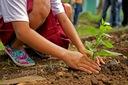 JARZĄB POSPOLITY JARZĘBINA CZERWONA K. Roślina w postaci sadzonka z gołym korzeniem