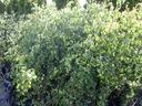 Brzoza płacząca Youngii 160-180cm P9 Styl ogród skalny ogród japoński ogród wiejski ogród nowoczesny ogród śródziemnomorski