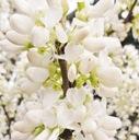 Judaszowiec chiński Shirobana 60-80cm C5 Rodzaj rośliny Inny