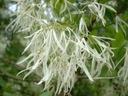 Śniegowiec wirginijski 20-40cm P10 Rodzaj rośliny Inny
