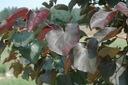Judaszowiec kanadyjski Merlot 150-170cm 10L Wysokość sadzonki 150-170 cm