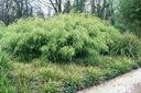 Bambus Fargesia Rdzawa mrozoodporny 40-60cm C3 Rodzaj rośliny Inny