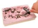 DINOZAUR Szkielet 3D, wykopaliska Tyranozaur T-rex Materiał Plastik Inny