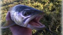 FishUp Pupa 1,5' 38mm Ser Earthworm #106 Liczba sztuk 1 szt.