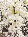Judaszowiec chiński Shirobana 60-80cm C5 Wysokość sadzonki 60-80 cm