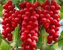 Cytryniec CHINSKI Sadova No1 Jagody życia 1L Roślina w postaci sadzonka w pojemniku 1-2l