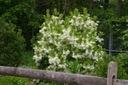 Śniegowiec wirginijski 20-40cm P10 Wysokość sadzonki 20-40 cm