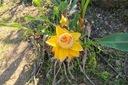 Bananowiec Musella lasiocarpa Kwiat Lotosu P12 Roślina w postaci sadzonka w pojemniku 1-2l