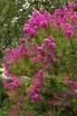 Lagerstroemia fioletowa Benoit P9 Roślina w postaci sadzonka w pojemniku 0,5-1l