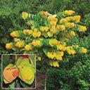 Judaszowiec kanadyjski The Rising Sun 60-80cm C5 Rodzaj rośliny Inny