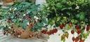 Truskawka wisząca i pnąca na balkony KOMPLET 4 szt Rodzaj rośliny Poziomki i truskawki