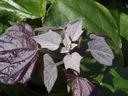 SURMIA PURPUREA Catalpa Katalpa PA 150-170cm C5 Rodzaj rośliny Inny