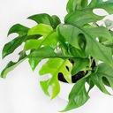 Ładna Monstera Deliciosa Dziurawa Filodendron Rodzaj rośliny rośliny zielone