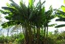Bananowiec Musa Basjoo 40-60cm C1.5 Wysokość sadzonki 40-60 cm