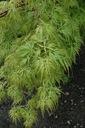 Klon palmowy Seiryu P9 Wysokość sadzonki 10-30 cm
