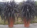 Rozplenica слоновая кость Vertigo черная трава горшок