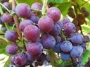 Виноград виноградом на наш климат, комплект 6 штук
