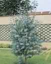 Eukaliptus gunni niebieski na pniu 20-30cm 1L Rodzaj rośliny Inny
