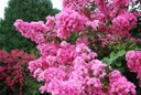 Lagerstroemia różowa Seaburn 70-90cm C2 Rodzaj rośliny Inny