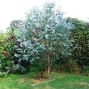 Eukaliptus gunni niebieski na pniu 20-30cm 1L Roślina w postaci sadzonka w pojemniku 1-2l