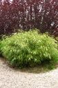 Bambus Fargesia Rdzawa mrozoodporny 40-60cm C3 Styl ogród skalny ogród japoński ogród wiejski ogród nowoczesny ogród śródziemnomorski
