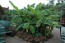 Bananowiec Musa Basjoo P12 Roślina w postaci sadzonka w pojemniku 1-2l