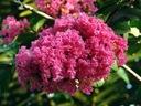 Lagerstroemia różowa Seaburn 70-90cm C2 Wysokość sadzonki 70-90 cm