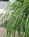 Żywotnik olbrzymi Thuja WHIPCORD PA 80-100cm C5 Wysokość sadzonki 80-100 cm