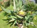 Bananowiec Musella lasiocarpa Kwiat Lotosu P12 Wysokość sadzonki 20-40 cm