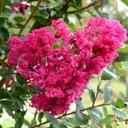 Lagerstroemia różowa Seaburn 70-90cm C2