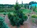 Sosna Schwerina Wiethorst 40-60cm C5 Rodzaj rośliny sosna